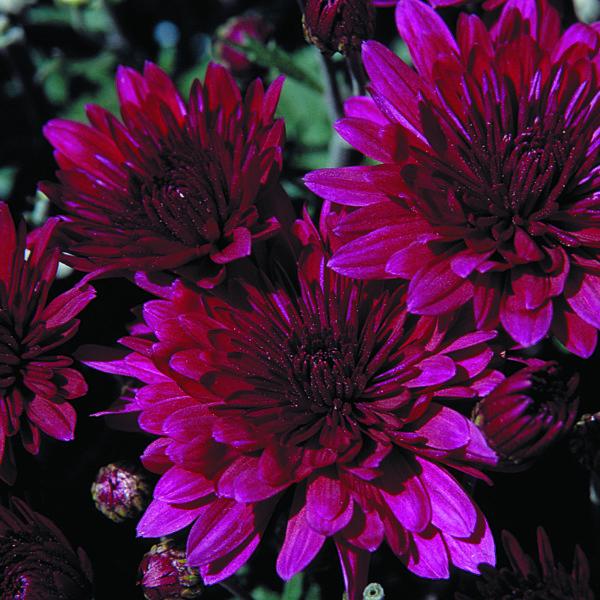 Venus Purple Garden Mum