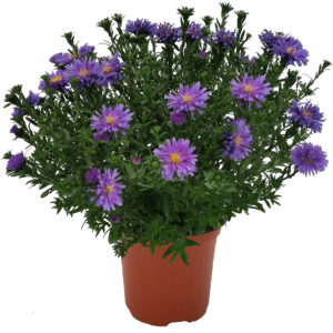 """Aster 5"""""""