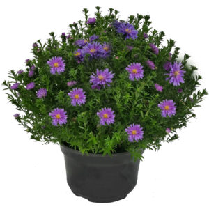 """8"""" Aster"""