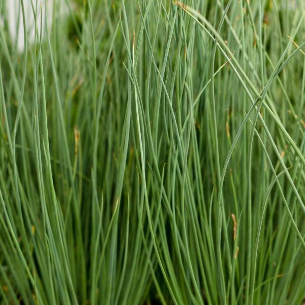 Blue Mohawk Grass