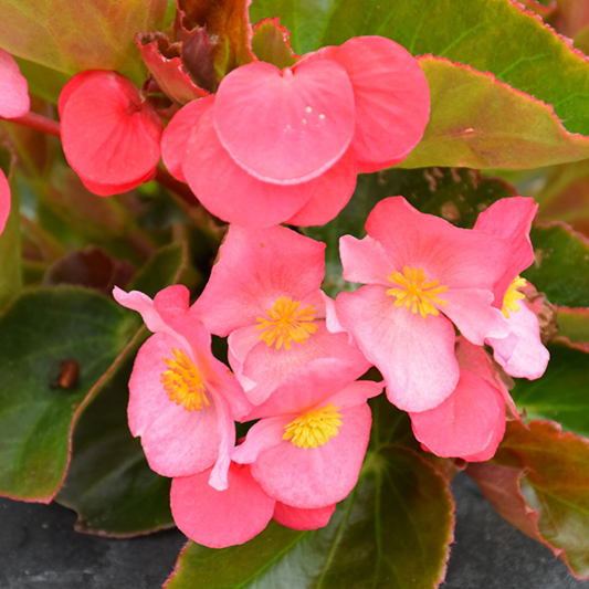 Begonia, Big Pink Bronze Leaf