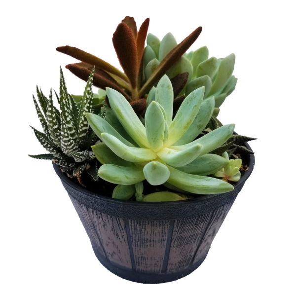 6in Whiskey Barrel Assorted Succulent Planter