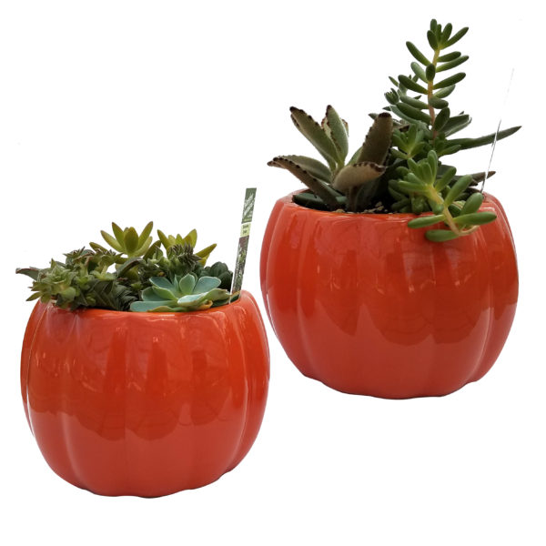 6 in Ceramic Pumpkin Planter with Assorted Succulents