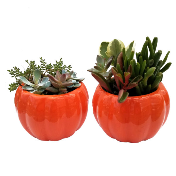 4 in Ceramic Pumpkin Planter with Assorted Succulents