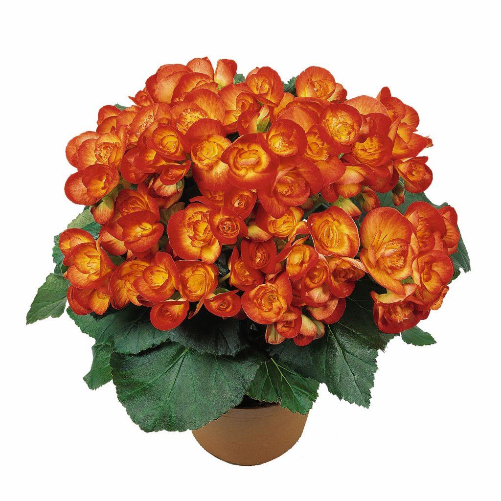 Begonia-Carneval