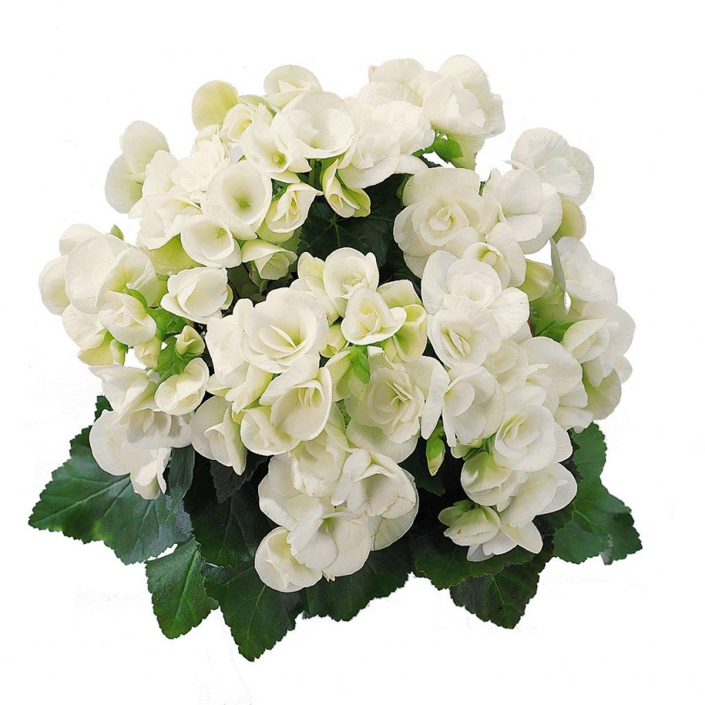Begonia-Clara