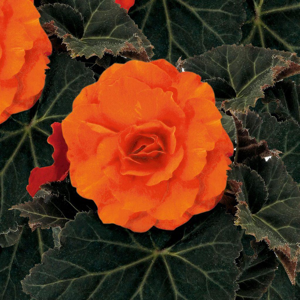 begonia-deep-orange