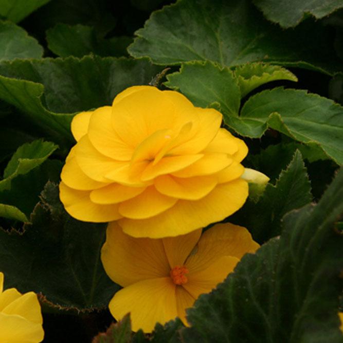 begonia-yellow